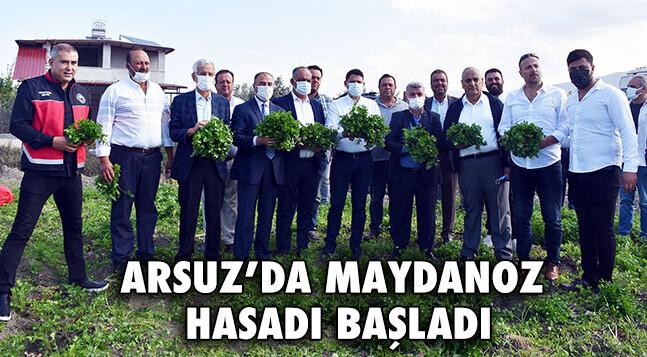 ARSUZ'DA MAYDANOZ HASADI BAŞLADI